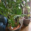 ROSE家の観葉植物